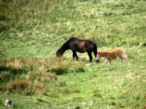 Brecon_Beacons_ponies_Walia_kucyki_2