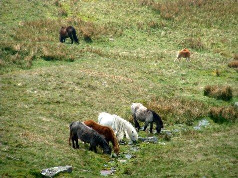 Brecon_Beacons_ponies_Walia_kucyki_3