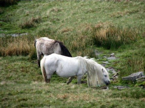 Brecon_Beacons_ponies_Walia_kucyki_4