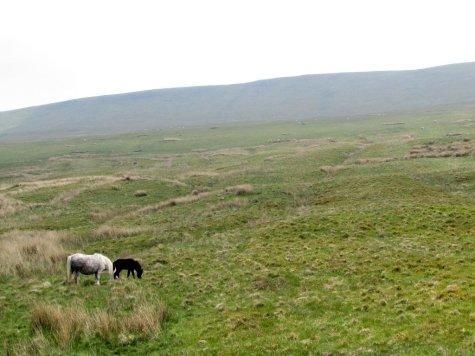 Brecon_Beacons_ponies_Walia_kucyki_5