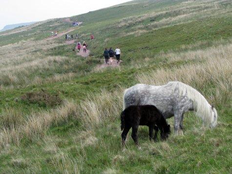 Brecon_Beacons_ponies_Walia_kucyki_6