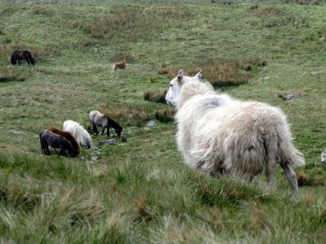 Brecon_Beacons_ponies_Walia_kucyki_z_owca