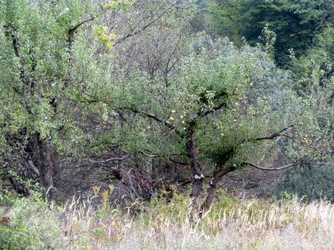 Pogorze_Przemyskie_Paportno_drzewa_owocowe